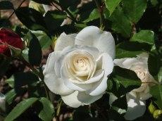 2015_07_01_Rose_3