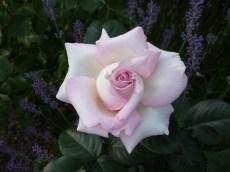 2015_07_05_Rose_1