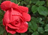 Rote Rose 8