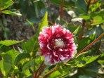 Dahlienblüte 6