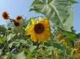 Sonnenblume-sunflowers 3
