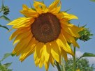 Sonnenblume-sunflowers 4