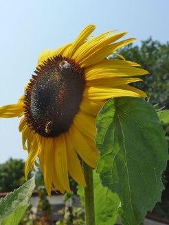 Sonnenblume-sunflowers 6
