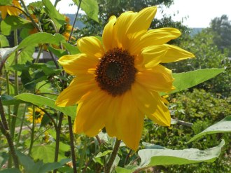 Sonnenblume-sunflowers 7