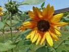 Sonnenblume-sunflowers 9
