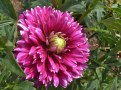 Dahlienblüte 19