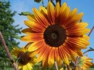 Sonnenblumen 03