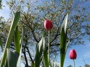 Späte Tulpe 10
