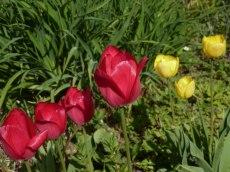 Späte Tulpe 16