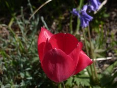 Späte Tulpe 17