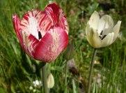 Späte Tulpe 6