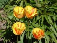 Tulpen 30