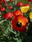 Tulpen 31