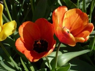 Tulpen 35