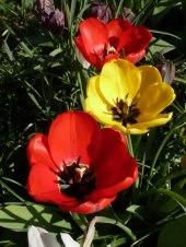 Tulpen 37