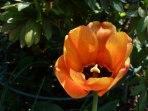 Tulpen 39