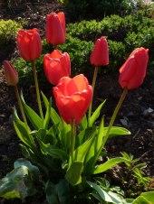 Tulpen 40