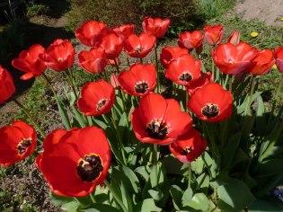 Tulpen 43