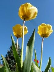 Tulpen 44