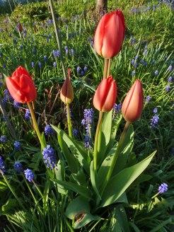Tulpen 49