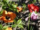 Tulpen 8