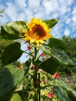 Sonnenblume 10