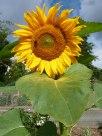 Sonnenblume 14