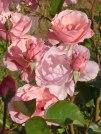 Rosa Rose 13