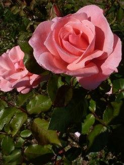 Rosa Rose 6