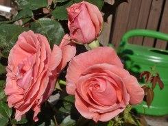 Rosa Rose 8