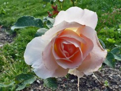 Rosenblüte 10