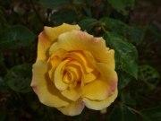 2014_06_22_Rose_16