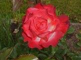 2014_06_22_Rose_18