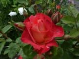 2014_06_26_Rose_2