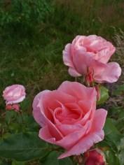 2014_07_26_Rose_rosa-2