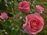 2014_07_26_Rose_rosa_6
