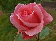 2014_07_27_Rose_12