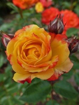 2014_07_27_Rose_3