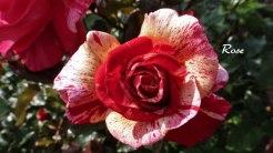 2014_07_17_Rose_1