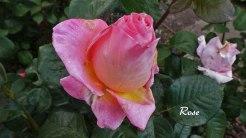 2014_07_17_Rose_6