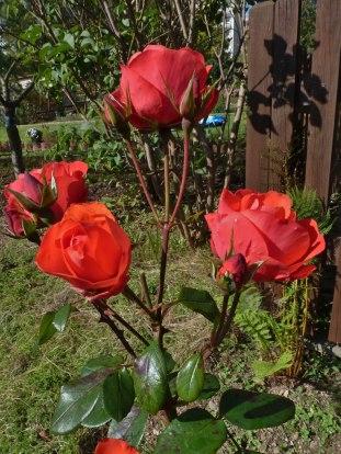 2014_09_28_Rose_1