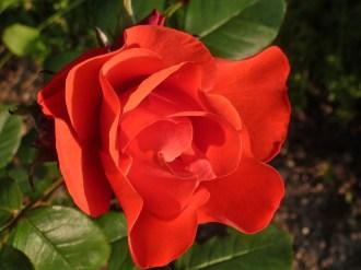 2015_07_05_Rose_3