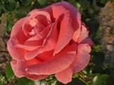 2015_07_05_Rose_6