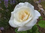 2015_07_25_Rose_6