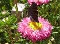 Aster – Schmetterling