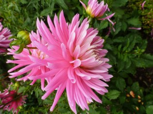 Dahlienblüten 6