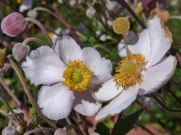 Herbst – Anemone 4