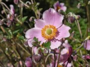 Herbst – Anemone 5