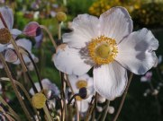 Herbst – Anemone 6