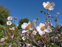 Herbst – Anemone 9